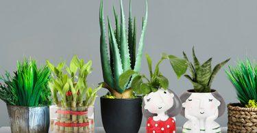 Lucky House plant