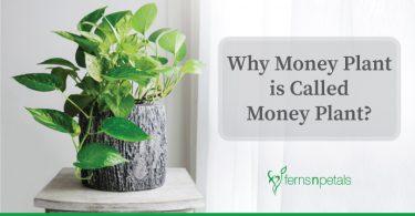blog-cover-money-plant