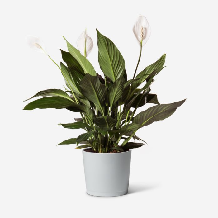 Lily Plant