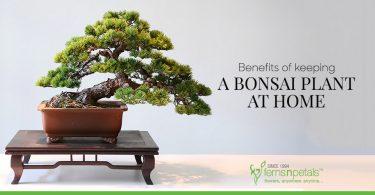 Benefits of keeping a bonsai plant at home