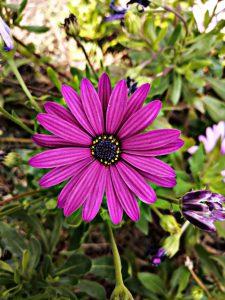 Aster - September Flower